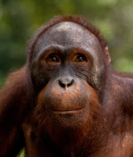 A portrait of a happy orangutan in Borneo