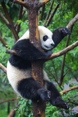 giant panda, giant panda photos, panda photos, pandas in China, wild pandas, Chengdu Panda Reserve, pandas in Chengdu Panda Reserve