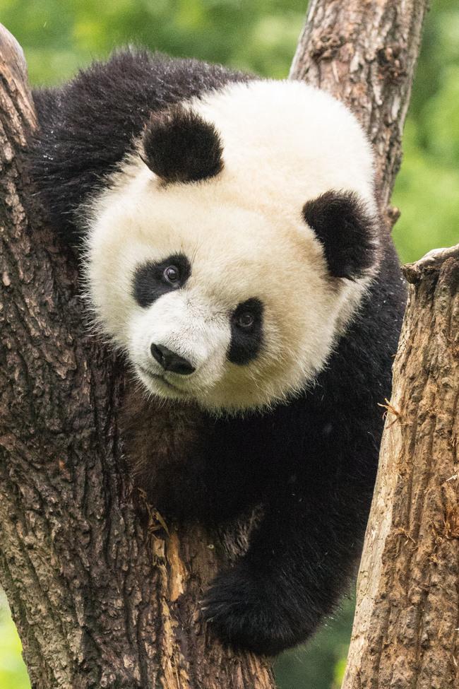giant panda, giant panda photos, panda photos, pandas in China, wild pandas, Jiangyou, Chengdu Panda Research Base
