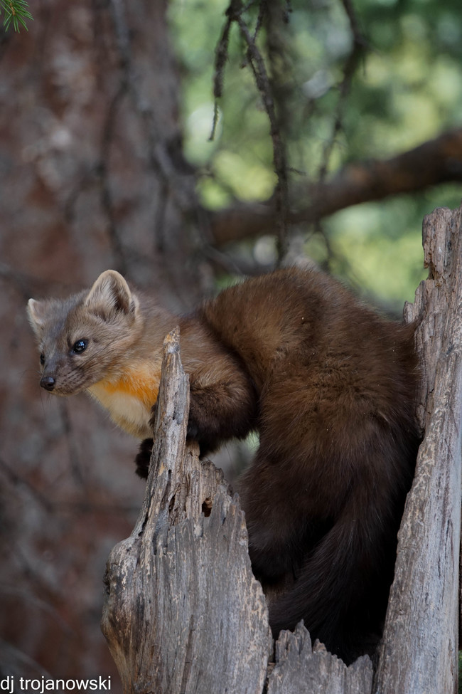 pine marten, pine marten photos, Yellowstone National Park, Yellowstone wildlife, wildlife in Yellowstone, pine martens in Yellowstone, Yellowstone pine martens