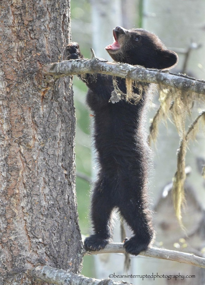 black bear, black bear photos, bears in canada, photos of bears in canada, British Columbia wildlife, black bear cub, black bear cub photos