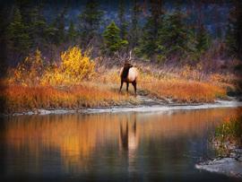 elk, bull elk, elk photos, bull elk photos, Canada wildlife, elk in Canada