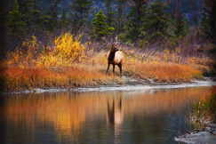 elk, bull elk, elk photos, bull elk photos, Canada wildlife, elk in Canada