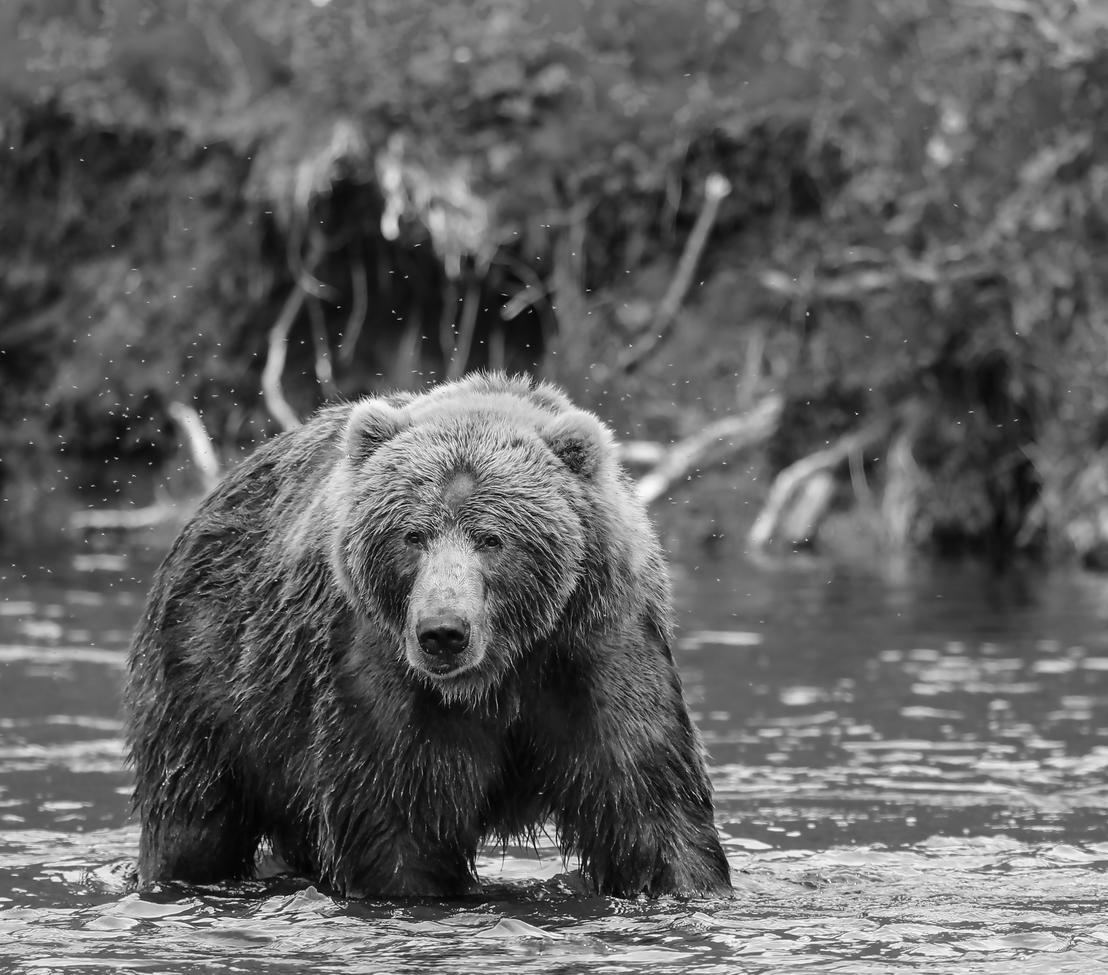 grizzly bear, brown bear, brown bear cub, grizzly cub, grizzly photos, brown bear photos, alaska wildlife, alaska bears, alaska wildlife photos, alaska bear photos, united states wildlife, united states wildlife photos, kodiak, Kodiak Island