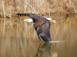 bald eagle, bald eagle photos, bald eagle images, Ontario wildlife, Ontario wildlife photos, Ontario birds, birds in Ontario, bald eagles in canada, bald eagles in Ontario