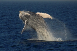 humpback whale, humpback whale photos, humpback whales in Australia, Australia wildlife, Australia marine life, Australia wildlife photos