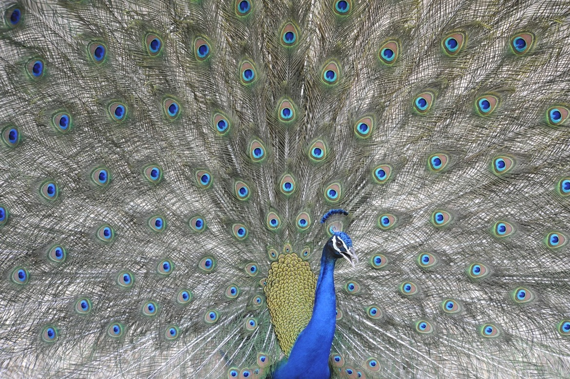 Peacock, Bandhavgarh National Park, India