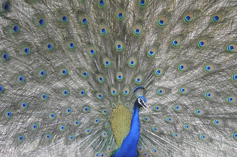 Peacock, Bandhavgarh National Park, India