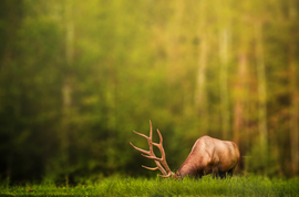 elk, bull elk, elk photos, bull elk photos, Canada wildlife, Saskatchewan wildlife,