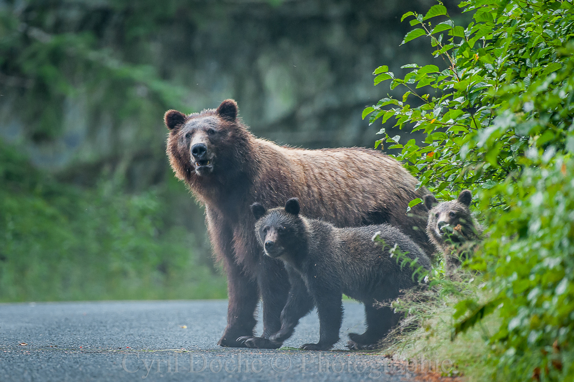 grizzly bear, brown bear, brown bear cub, grizzly cub, grizzly photos, brown bear photos, alaska wildlife, alaska bears, alaska wildlife photos, alaska bear photos, united states wildlife, united states wildlife photos