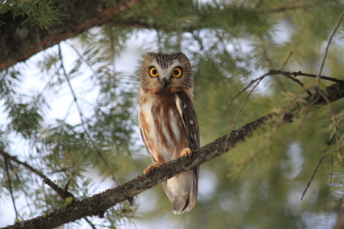owl, owl photos, birds in Canada, owls in Canada, birding in Canada, Northern Saw-whet Owl, Northern Saw-whet Owl photos, Kenna Cartwright Park