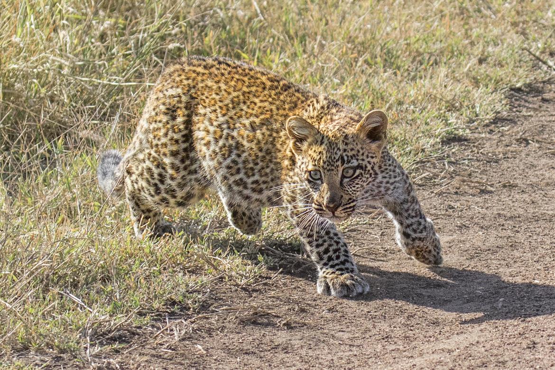 leopard, leopard photos, leopard images, tanzania wildlife, tanzania wildlife photos, tanzania safari, tanzania safari photos, african safari photos, african cats, leopards in africa, leopards in tanzania, serengeti, serengeti wildlife