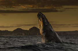 Grid whale breaching at sunset no watermark 1