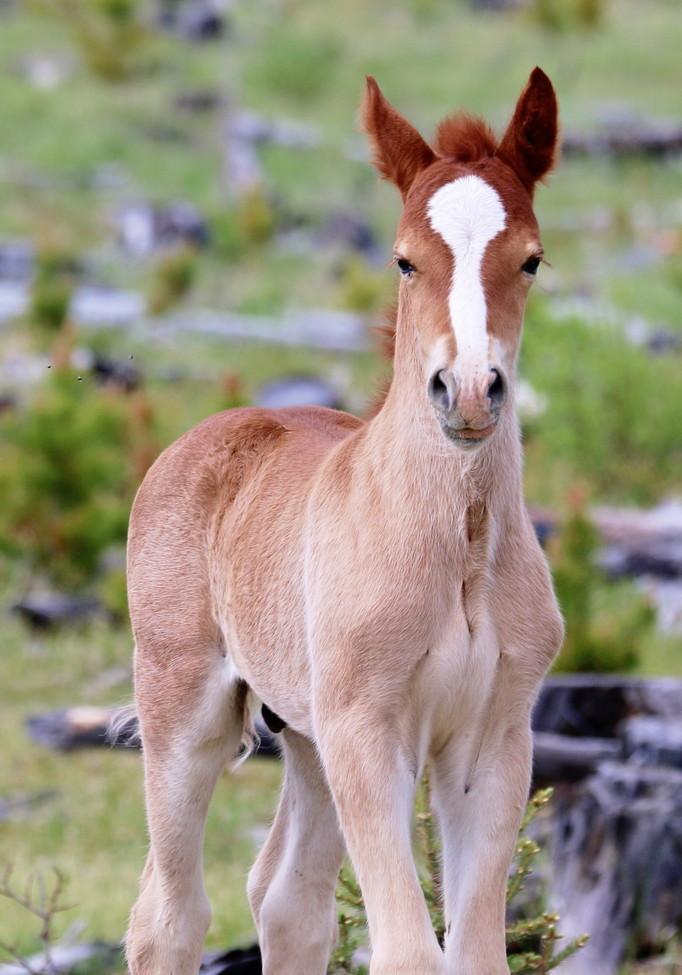 wild horse, wild horse photos, wild foal, wild foal photos, Williams Creek, Williams Creek wildlife, Williams Creek photos, Canada wildlife, wild horses in Canada