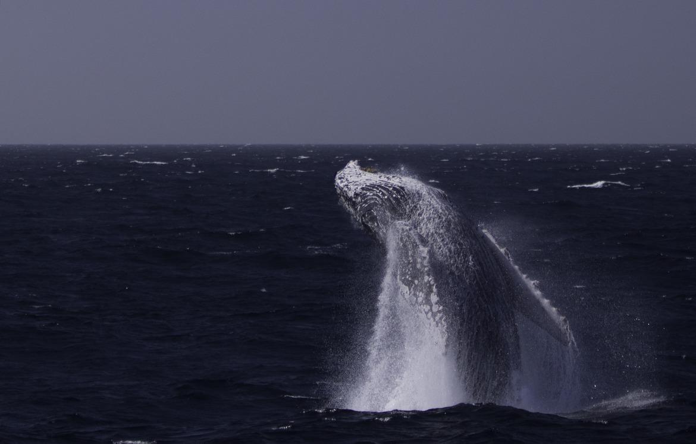 humpback whale, humpback whale photos, humpback whales in Mexico, Mexico wildlife, Mexico marine life, Mexico wildlife photos, Magdalana Bay