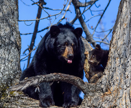 black bear, black bear photos, bears in US, photos of bears in US, Alaska wildlife, Alaska wildlife photos, bears in Alaska, black bears in Alaska, black bear cubs