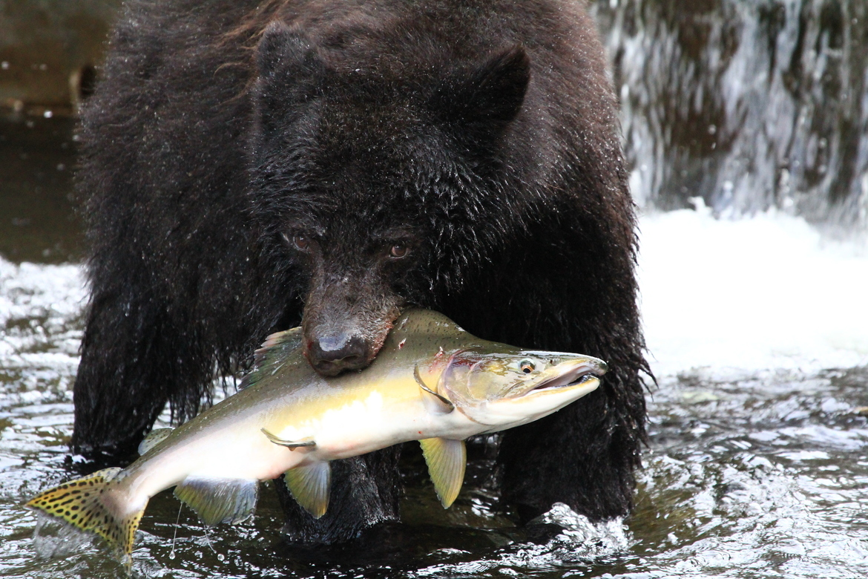 black bear, black bear photos, bears in canada, photos of bears in canada, Campbell River wildlife, british columbia wildlife, bear fishing, salmon