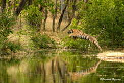 tiger photos, bengali tiger photos, tiger, bengali tiger, Maharashtra, Maharashtra wildlife, Maharashtra wildlife photos, india wildlife, india wildlife photos