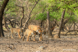 tiger photos, bengal tiger photos, tiger, bengal tiger, Ranthambore National Park, Ranthambore National Park wildlife, Ranthambore National Park wildlife photos, india wildlife, india wildlife photos, tiger cub
