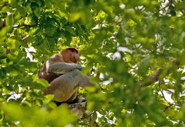 Proboscis monkey, monkey, Borneo, Asia, Borneo photography