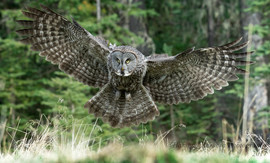 great gray owl, great gray owl photos, birding in Canada, owls in Canada, wildlife in Canada, Canada wildlife, Canada birding, Canada owls, Alberta wildlife, Alberta birding