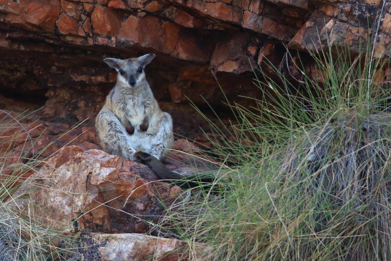 wallaby, wallaby photos, rock wallaby, rocky wallaby photos,