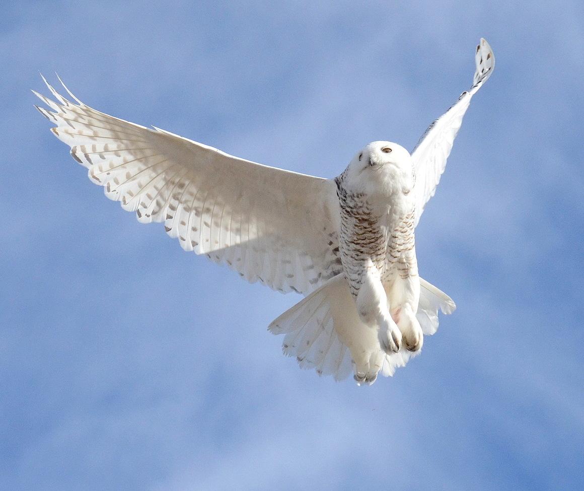 snowy owl, snowy owl photos, owl, owl photos, birds in Canada, owls in Canada, snowy owls in Canada, Canada wildlife, Alberta birds, Alberta wildlife, birding in Canada, Canada birding, Canada owls