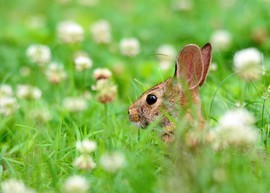 rabbit, rabbit photos, rabbits in Virginia, Virginia wildlife, wildlife in the US, rabbits in the US