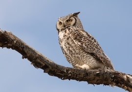great horned owl, great horned owl photos, Canada wildlife, Canada birds, Alberta, Alberta wildlife, birding in Canada, birding in Alberta