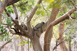 langur monkey, langur monkey photos, langur monkeys in India, India wildlife, India monkeys, Ranthambore National Park, Ranthambore National Park photos, Ranthambore National Park monkeys