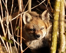 red fox, red fox photos, red fox images, wildlife in Canada, Canada wildlife, Canada wildlife photos