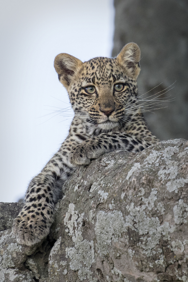 leopard, leopard photos, leopard cub, leopard cub photos, leopard images, tanzania wildlife, tanzania wildlife photos, tanzania safari, tanzania safari photos, african safari photos, african cats, leopards in tanzania, Serengeti National Park