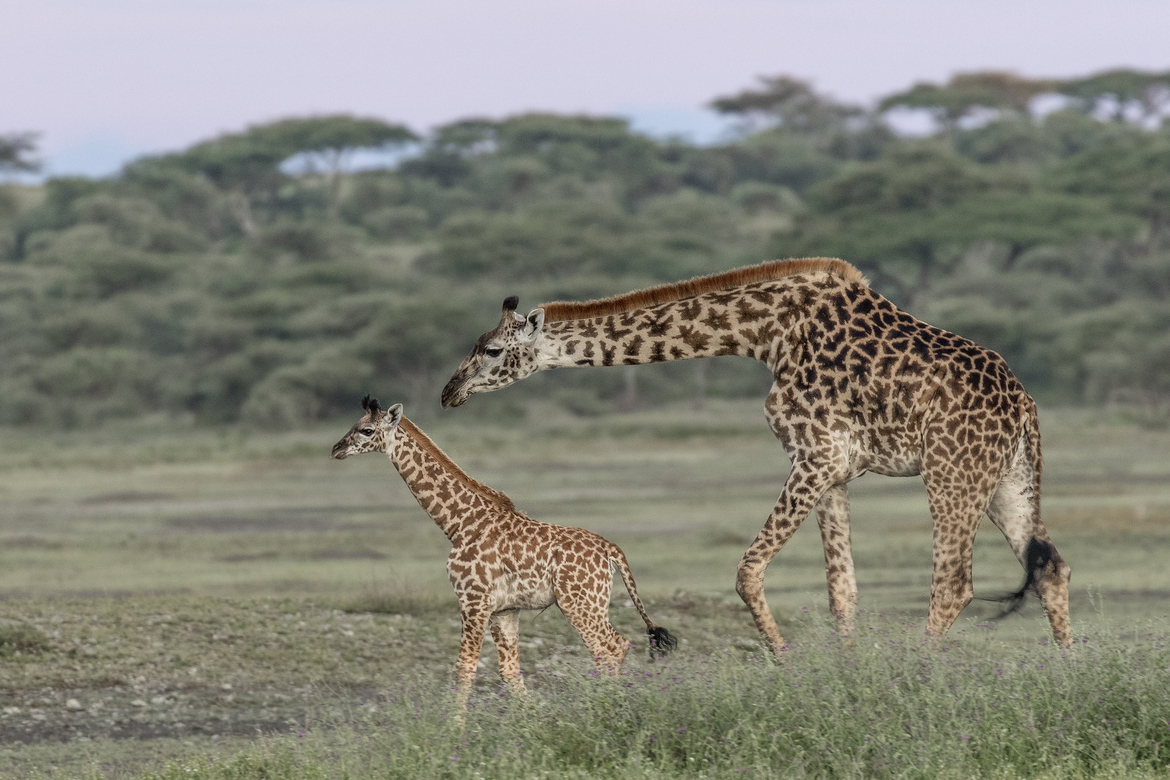 giraffe, giraffe photos, giraffe images, baby giraffe, tanzania wildlife, tanzania wildlife photos, african safari photos, giraffes in tanzania, serengeti national park, serengeti wildlife, giraffes in serengeti, serengeti wildlife photos