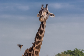 Grid masai giraffe and red  billed oxpecker  jpg