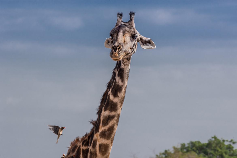 giraffe, giraffe photos, giraffe images, tanzania wildlife, tanzania wildlife photos, african safari photos, giraffes in tanzania, tarangire national park, tarangire wildlife, giraffes in tarangire, tarangire wildlife photos, oxpecker, oxpecker photos