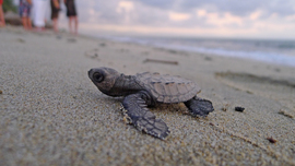 sea turtles, baby sea turtle, sea turtle hatchling, Mexico ecotourism, sea turtle ecotourism, Mazunte Beach