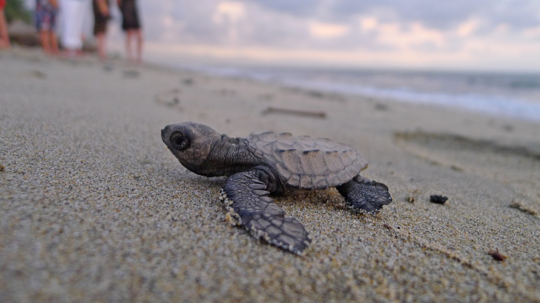 sea turtles, baby sea turtle, sea turtle hatchling, Mexico ecotourism, sea turtle ecotourism, Mazunte Beach