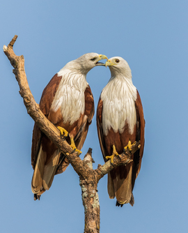 brahminy kite, brahminy kite photos, red-backed sea-eagle, red-backed sea-eagle photos, birds in India, birding in India, brahminy kites in India, red-backed sea-eagles in India