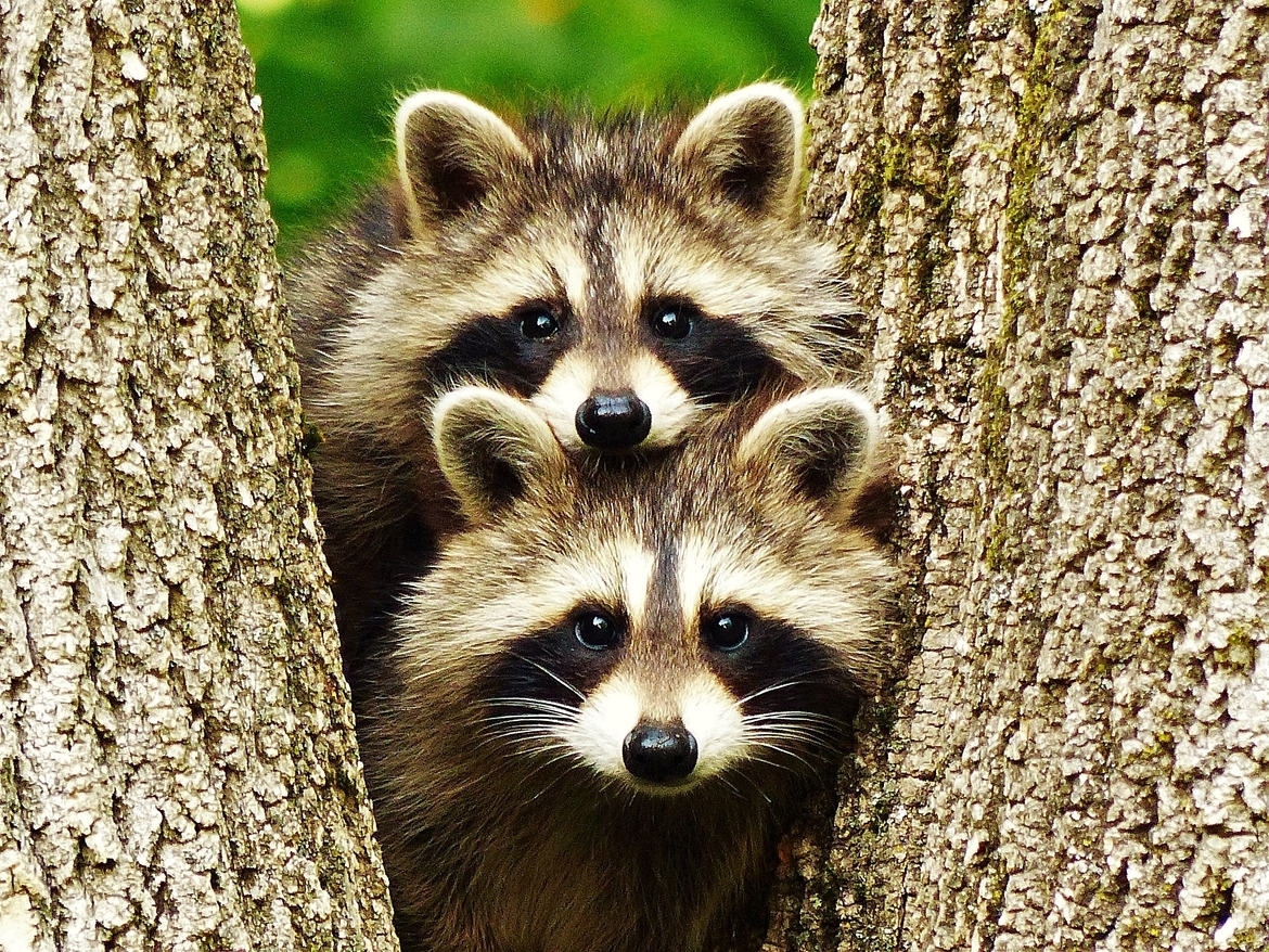 raccoon, raccoon photos, Canada wildlife, wildlife in Canada, raccoons in Canada