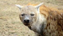 hyena, hyena photos, hyenas in kenya, wildlife in Kenya, kenya wildlife photos