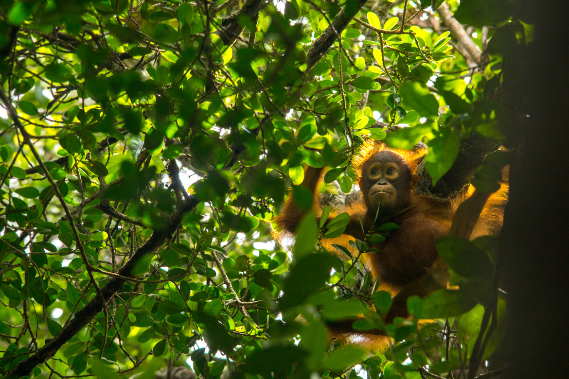 orangutan, orangutan photos, Indonesia wildlife, Bornean orangutan, Indonesia wildlife photos, Central Kalimantan