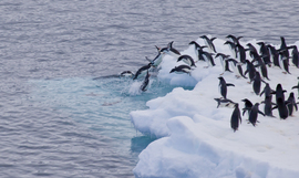 penguins, adelie penguin, adelie penguin photos, penguin photos, penguin images, antarctica wildlife, penguins in antarctica, Antarctic Sound