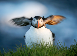 puffin, puffin photos, iceland wildlife, iceland wildlife photos, puffins in iceland, Latrabjarg wildlife, Latrabjarg wildlife photos