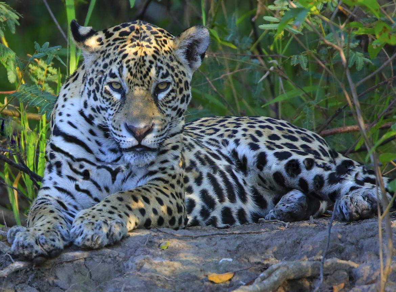 jaguar, jaguar photos, wild jaguars, pantanal wildlife, brazil wildlife, jaguars in the pantanal, jaguars in brazil, south american wildlife, Mato Grosso
