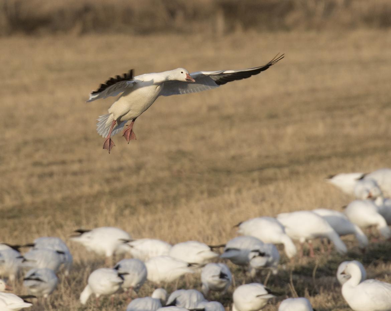 snow goose, snow geese, snow goose photos, snow geese in the US, geese in the US, geese in New Mexico