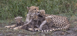 Cheetah, cheetah cub photos, Tanzania, Tanzania wildlife, Tanzania safari images, cheetah images, cheetah photos, Tanzania images, Tanzania photos, Serengeti wildlife, Serengeti photos