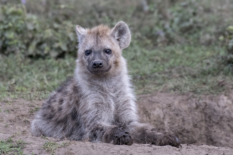 hyena, hyena photos, Tanzania wildlife, Tanzania wildlife photos, hyenas in Tanzania, africa safari, Tanznaia safari, baby hyena, baby hyena photos, Serengeti National Park, Serengeti Wildlife, hyenas in the Serengeti