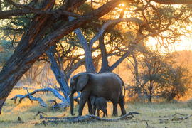 elephant, african elephant, elephant photos, african elephant photos, Zimbabwe wildlife, Zimbabwe wildlife photos, africa wildlife photos, africa wildlife, african safari photos, Hwange wildlife, Hwange National Park, baby elephant, mother elephant