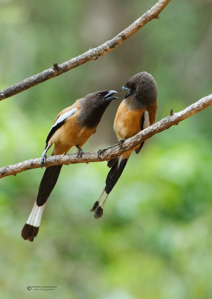 Rufous Treepie, Rufous Treepie photos, Rufous Treepie in India, India birding, birding in India, birding in Asia, Kerala, Thattakad, India wildlife