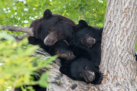 Bears, Black Bears, Colorado, Photos of Black Bears, Black Bear Images, Bears In Trees